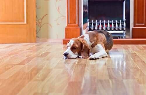 Köpekler İçin Laminant Zeminin Tehlikeleri