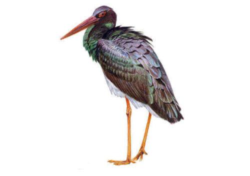 uzun gagalı kuş türü