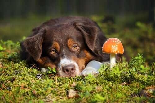 Köpeklerde Mantar Zehirlenmesi: Ne Yapılmalı?