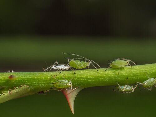 minik yeşil yaprak bitleri