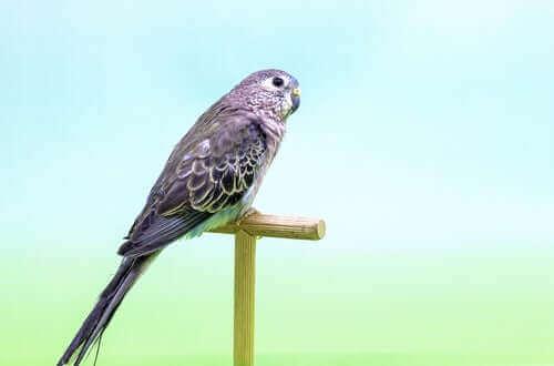 Gül Karınlı Muhabbet Kuşu: Beslenmesi ve Yaşam Alanı