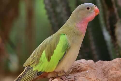 prenses papağanı