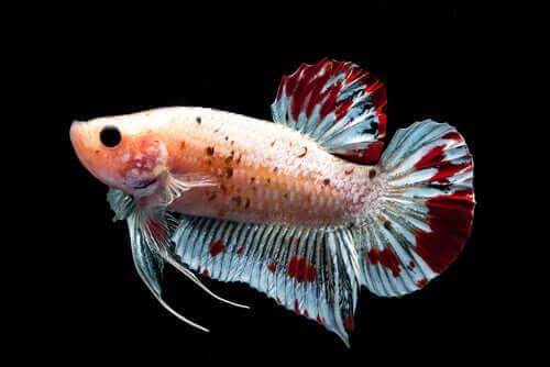 renkli balık suda dengede duruyor ve ihtiyoloji