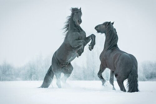 siyah atlar