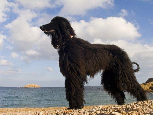 sahilde siyah köpek