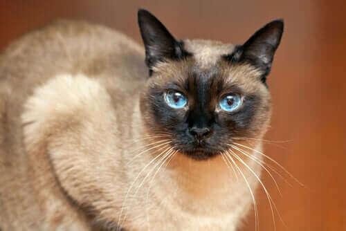 siyam kedisi kürkü