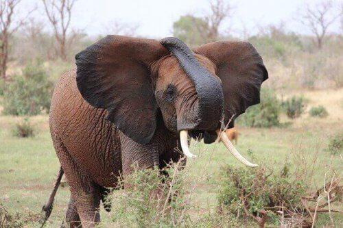 açık alanda bir fil