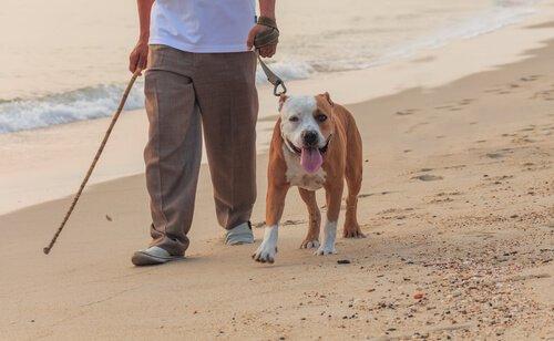 tasma ile sahil yürüyüşü yapan köpek