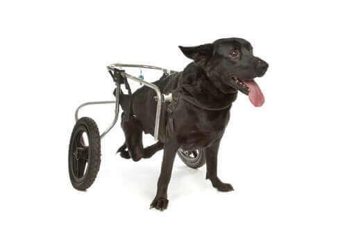 tekerlekli sandalyeli köpek