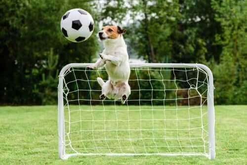 futbol oynayan köpek