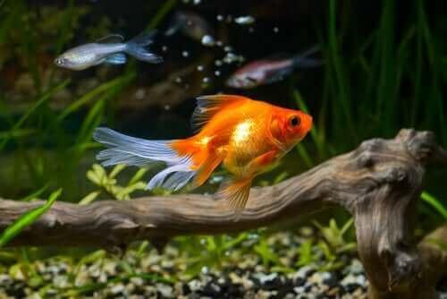Japon Balığı: Yaşam Koşulları Ve Bakımı
