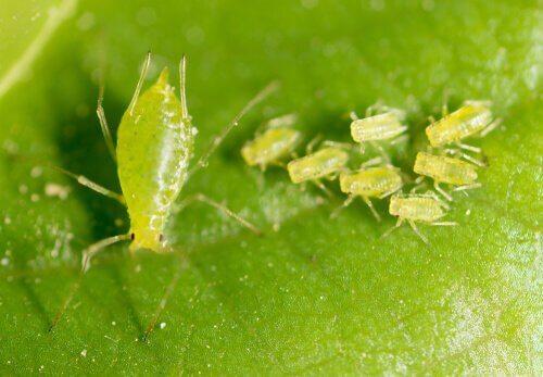 Farklı Yaprak Biti Türleri ve Özellikleri