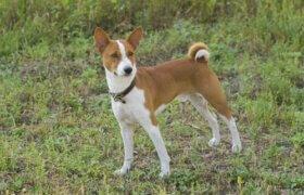 Havlamayan Bir Köpek Türü Olan Basenji İle Tanışın