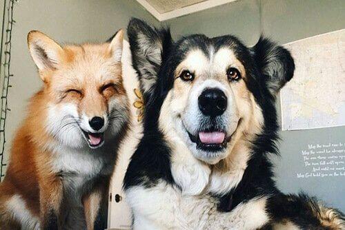 Juniper ve Moose: Arkadaş Olan Bir Tilki ve Bir Köpek