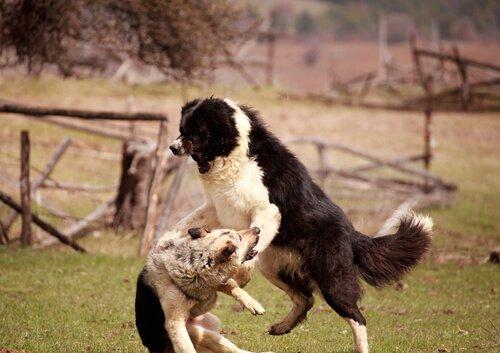 agresif köpekler