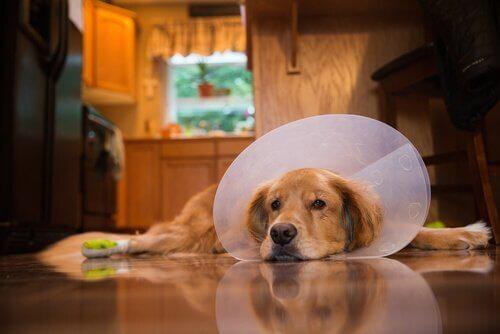 Ameliyat Sonrası Köpek Bakımı İçin Yedi Öneri