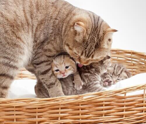 Kedilerde Doğum: 6 Endişe Veren Belirti