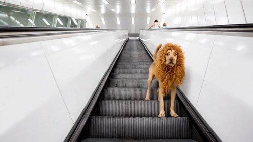 Aslan Köpek İnternette Ünlü Oluyor