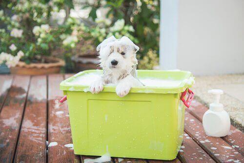 Köpeğiniz için En Uygun Şampuan
