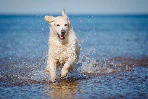 denizde koşan beyaz köpek ve yemek çiğnemek