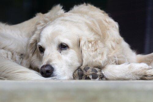 Hastalanmış yaşlı köpek