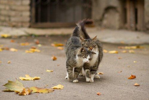 Kediler Bölgelerini Nasıl İşaretlerler?