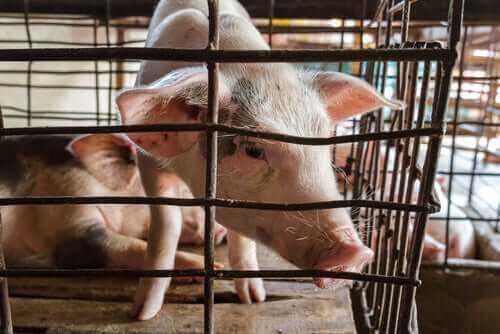 domuzlarda kompleks üst solunum yolları hastalığı