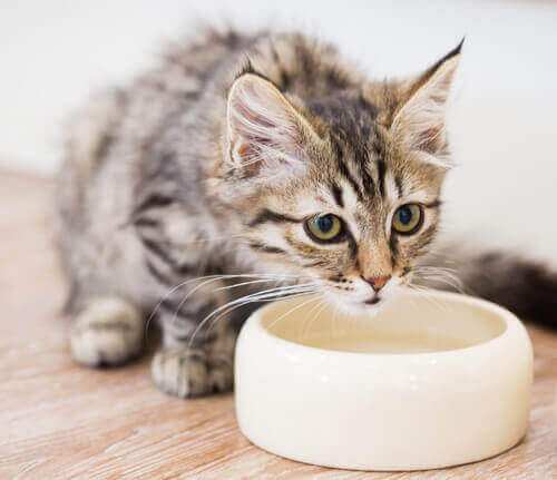 Kediler Su İçmeden Önce Su Kaselerini Neden Hareket Ettirir, Öğrenin