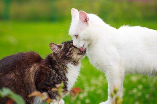Kedilerde Kızgınlık Dönemi Nasıl Gerçekleşir?