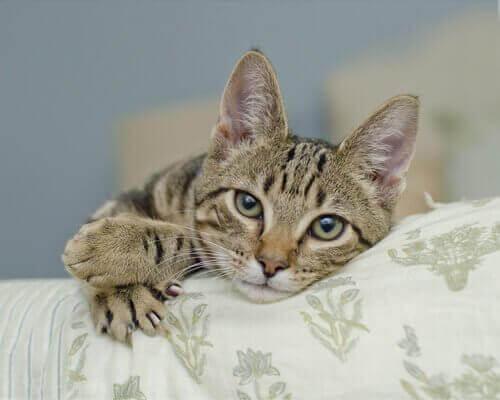 Kedinizin Pençelerini Asla Sökmeyin