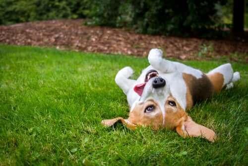 Çimlerde Yuvarlanmak Köpekler için Neden Güzeldir?