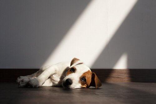 Köpeklerde Bağırsak Parazitleri