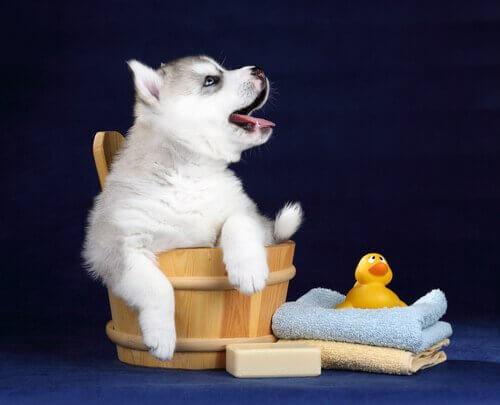 banyo kovasında ördeği ve havluları ile yavru köpek