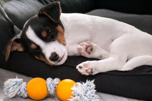 Kırık Kemikler: Köpeğiniz Kemiğini Kırarsa Ne Yapmanız Gerekir?
