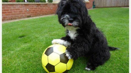 Futbol Oynayan Bir Köpek: Ronaldog