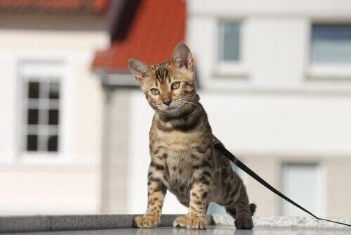 Tasma ile yürütülen tekir bir kedi.
