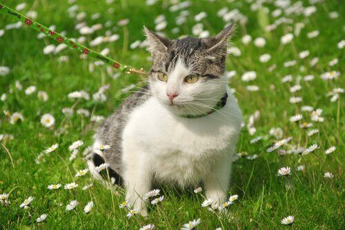 Çimenlerde tasma ile yürütülen bir kedi.