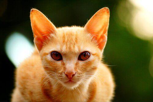 Neden Genelde Turuncu Kediler Erkek Olur?