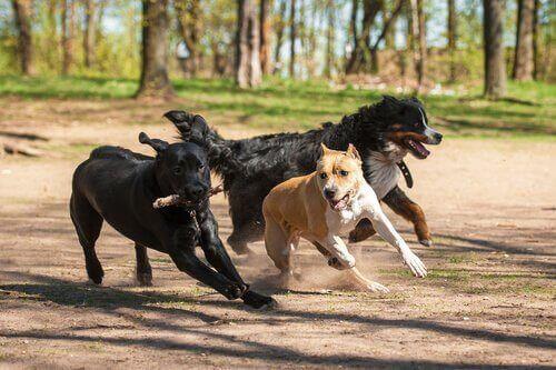üç tane köpek dışarıda oyun oynuyor