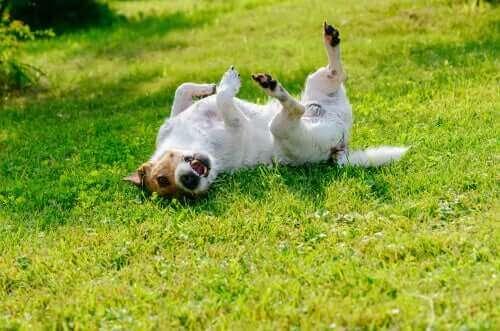 çimlerde yuvarlanan beyaz kahverengi köpek