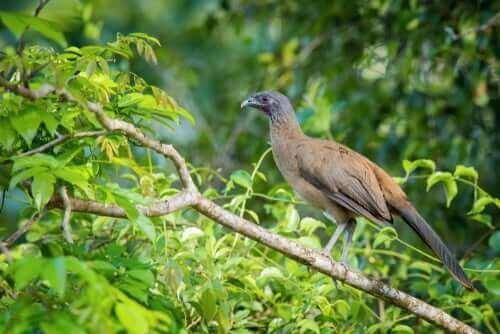 Tropik Bir Kuş: Rufous Vented Çaçalaka