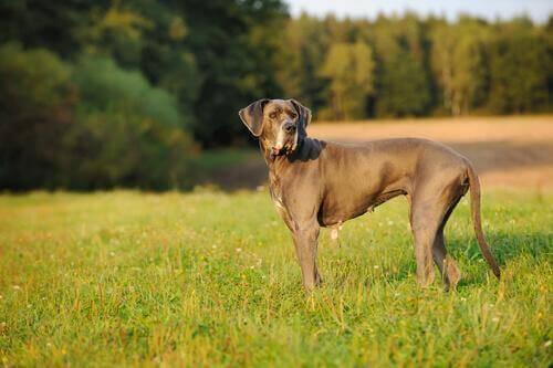 Danua: Soylu Bir Cins Dev Köpek