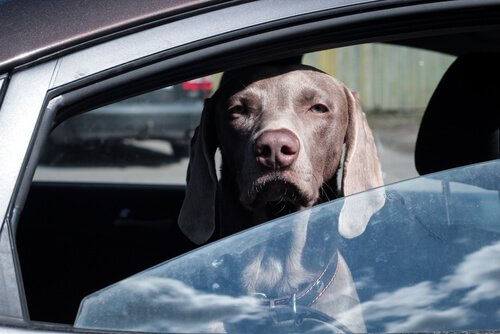 Neden Köpeğinizi Asla Arabada Bırakmamalısınız