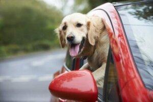 Araba penceresinden kafayı çıkarmış köpek