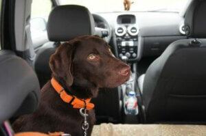 Arka koltukta oturmuş köpek