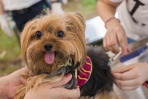 Köpek Aşıları ve Sağlığa Yararları