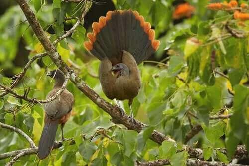 tropik bir kuş türü