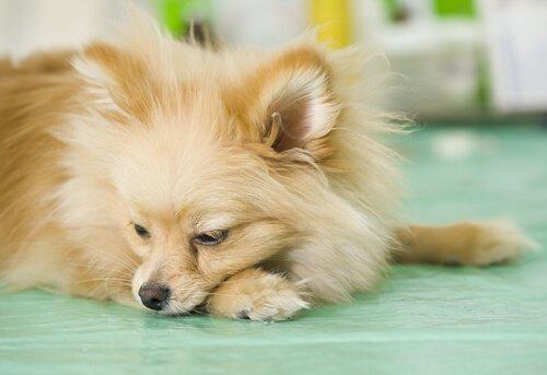 Köpeklerde Sık Kusma Durumu
