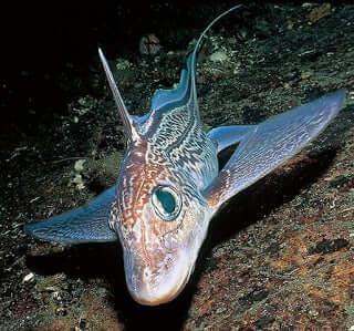 Olağan Dışı Balık: Derin Deniz Kimerası