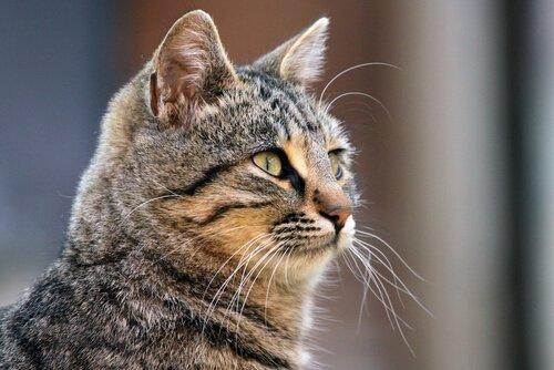 Kedilerin Bıyıkları İle İlgili Tüm Sırları Keşfedin